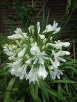 Agapanthus in a Worlingworth garden