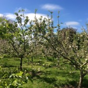 A Worlingworth orchard in bloom
